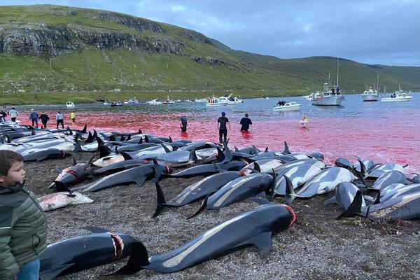 تفریح کے لیے سمندر میں 1400 سے زائد ڈالفن کا بڑے پیمانے پر قتل ، ویڈیو دیکھ ہو جائیں گے رونگٹے کھڑے